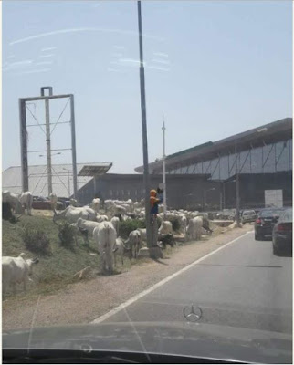 Cows Spotted At Abuja International Airport