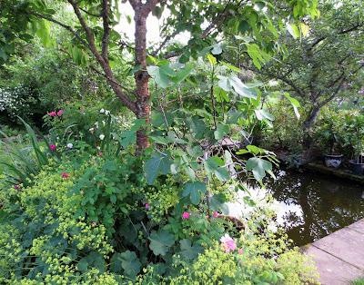 Ficus caria 'Bornholms Diamant