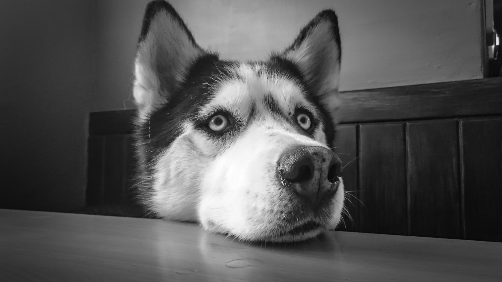 adorable-animal-black-and-white-breed-dog-pictures