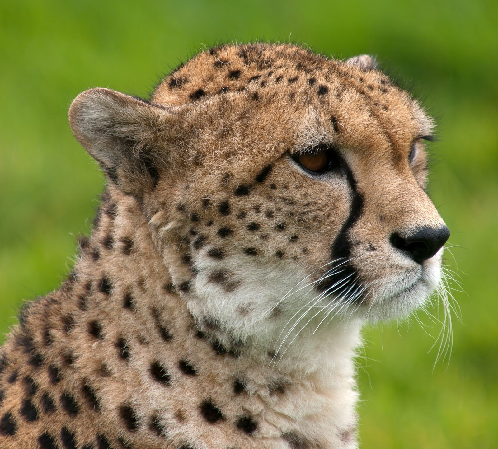 Mammals Animals: Cheetah portrait Whipsnade Zoo