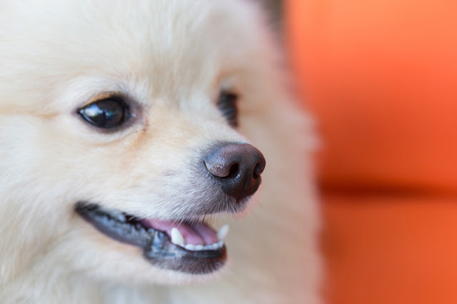 Close-up of a happy white Pomeranian dog