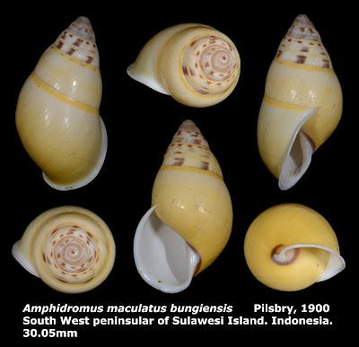 Amphidromus maculatus bungiensis 30.05mm