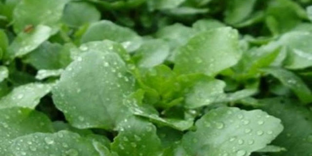 Είναι το πιο υγιεινό λαχανικό στον κόσμο κι όμως…κανείς δεν το τρώει! Απίστευτα τα οφέλη του!