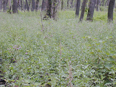 Canada thistle patch