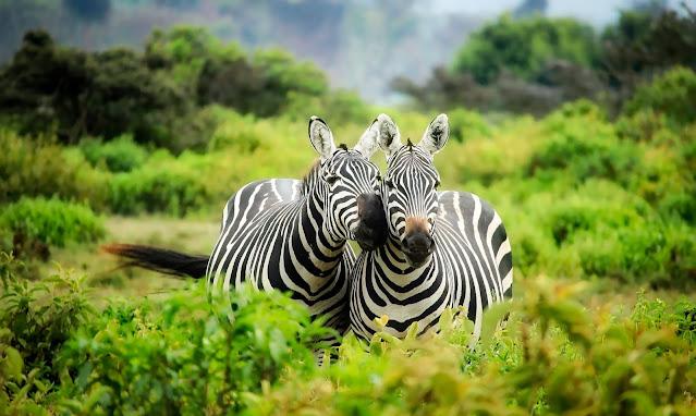 zebre-safari