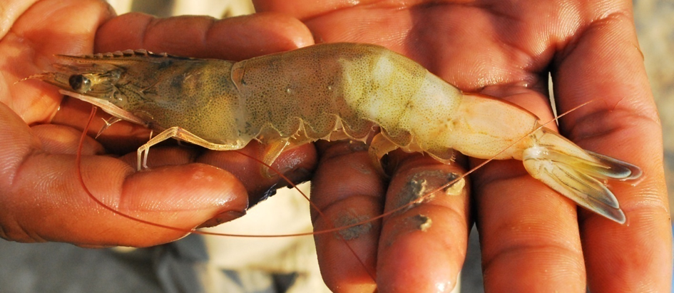 How to control White feces disease in Shrimp Farming