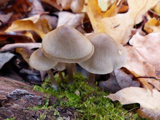 Mycena galericulata - Mycène en casque