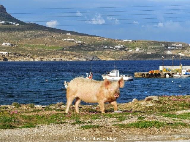 Świnka nad brzegiem greckiego morza i błękitnego nieba w tle na morzy łódki rybackie.
