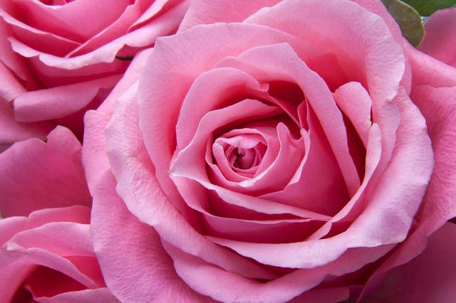 róża różowa symbolika