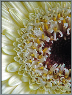 A super-close-up of the head of a Gerber Daisy. Photo by Brian Johnston.
