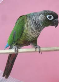 6 Green Cheek Conure Mutations – Green Cheek Conure