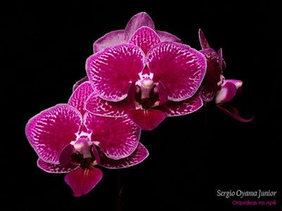 Orquídea Mini Phalaenopsis
