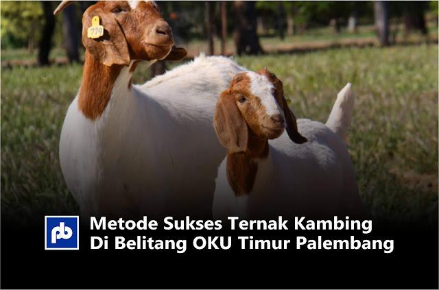 Metode Sukses Ternak Kambing Di Belitang OKU Timur Palembang