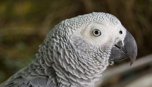 Penyakit Burung beo Afrika