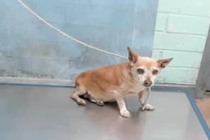 His only family left him saying it is time to be euthanized, Senior Chi will take final walk of life today