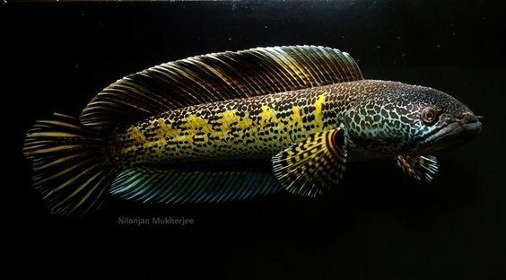 Channa aurantimaculata - 50 Jenis Ikan Channa Beserta Harga Terbaru