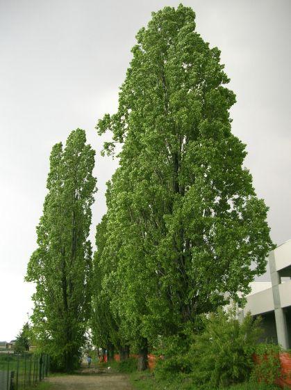 pianta di pioppo