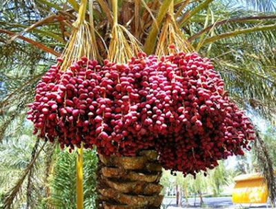 Gambar Buah Kurma di Pohon Foto Buah-Buahan Segar di Madinah dan Mekkah
