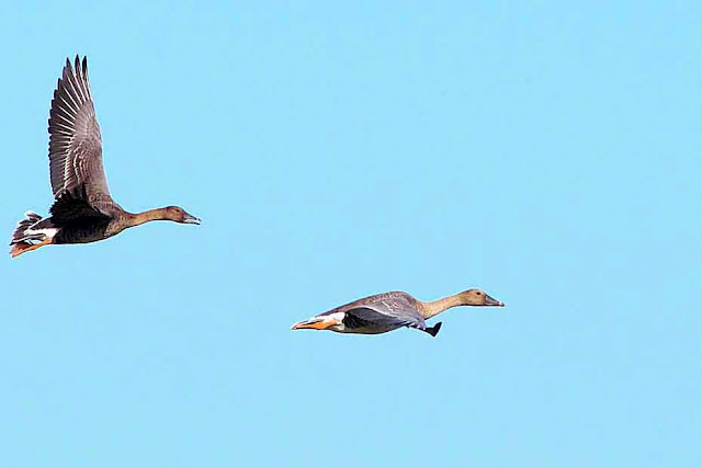 Bean Geese flying, male and female