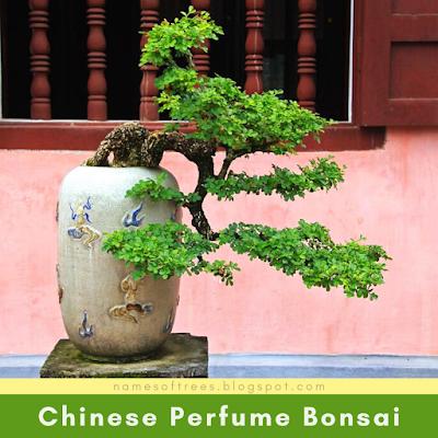 Chinese Perfume Bonsai