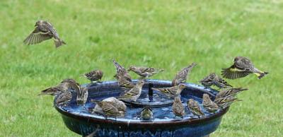 Photo of Pine Siskins in the bird bath
