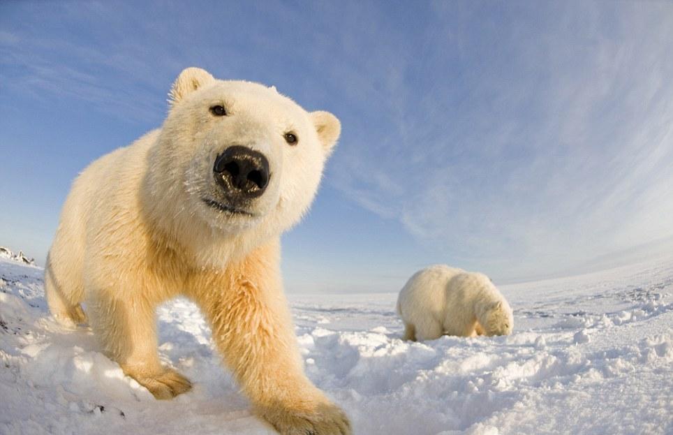 الدببة القطبية 0_94f12_ccfe6409_ori