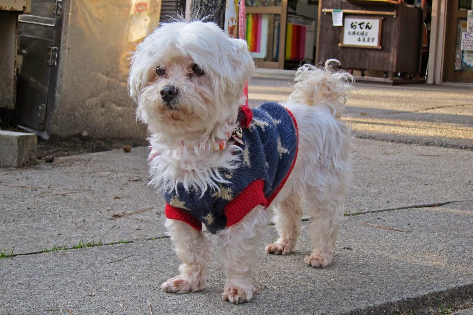 Resultado de imagen para maltese 犬  コーラ