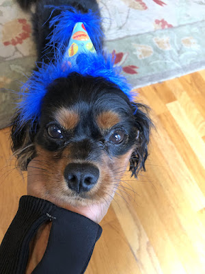 The Writer's Pet: Nicole Blades' dog Murphy, a Cavalier King Charles Spaniel, wearing a birthday hat