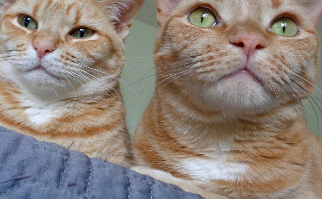 Two mischievous tabby cats