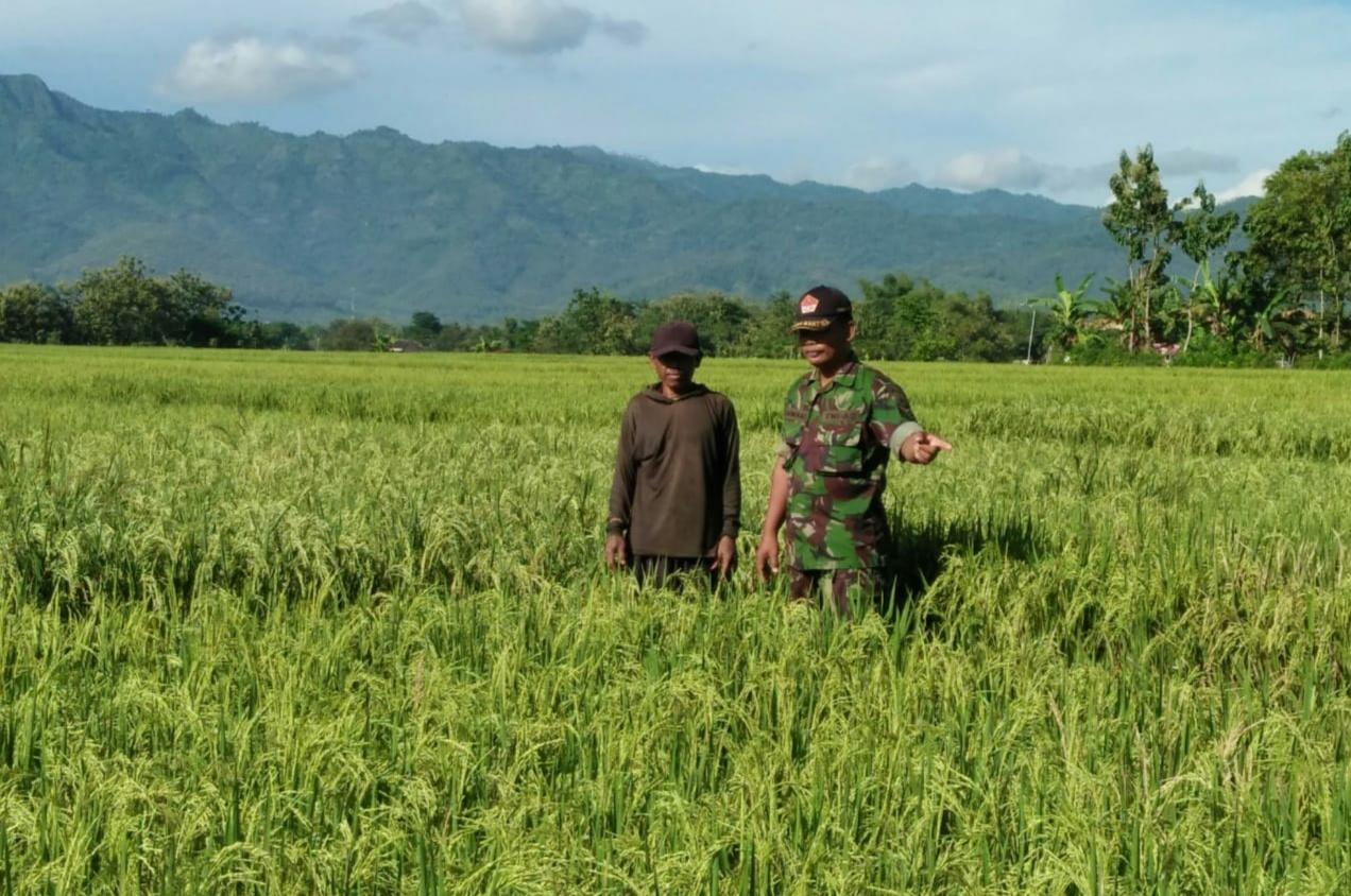 Babinsa Koramil Badegan Laksanakan Pendampingan Pengamatan Pertumbuhan Tanaman Padi Warga Binaan