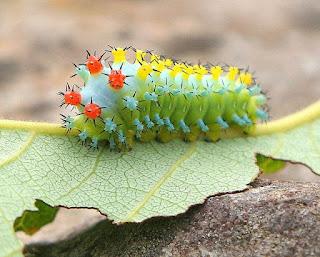 cecropia moth caterpillar ulat tercantik di dunia
