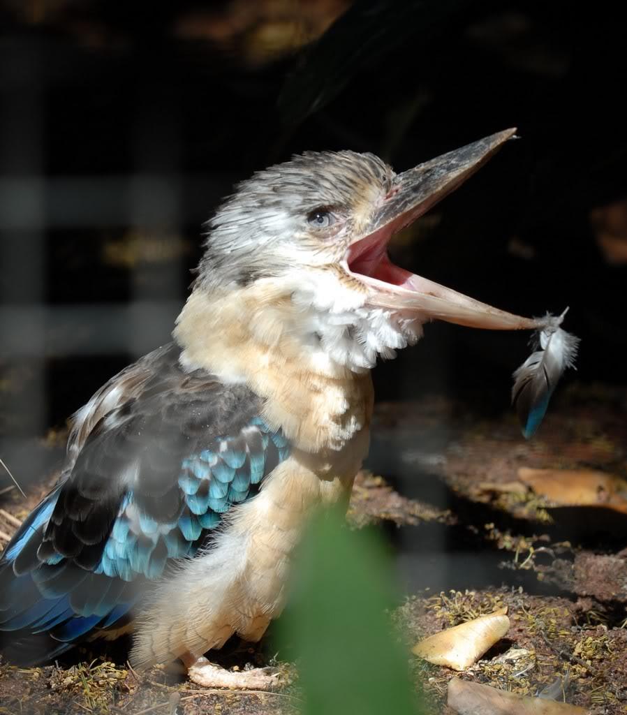 Picture of kookaburra the laughing bird.
