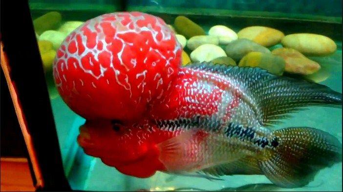 Gambar Ikan Luohan Juara Kontes