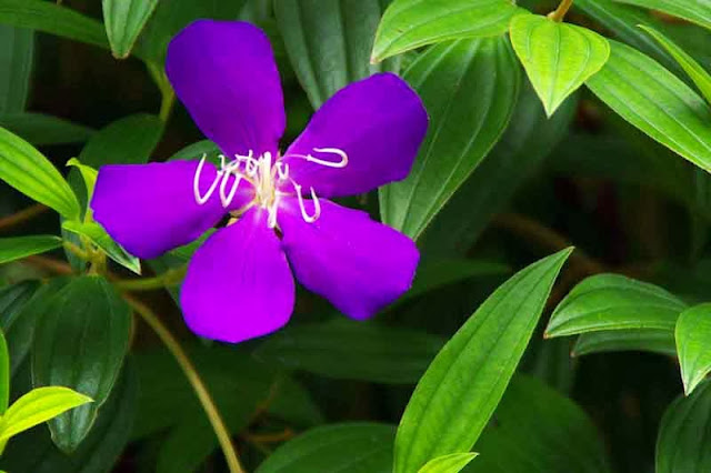 flower, Purple Asian Melastoma