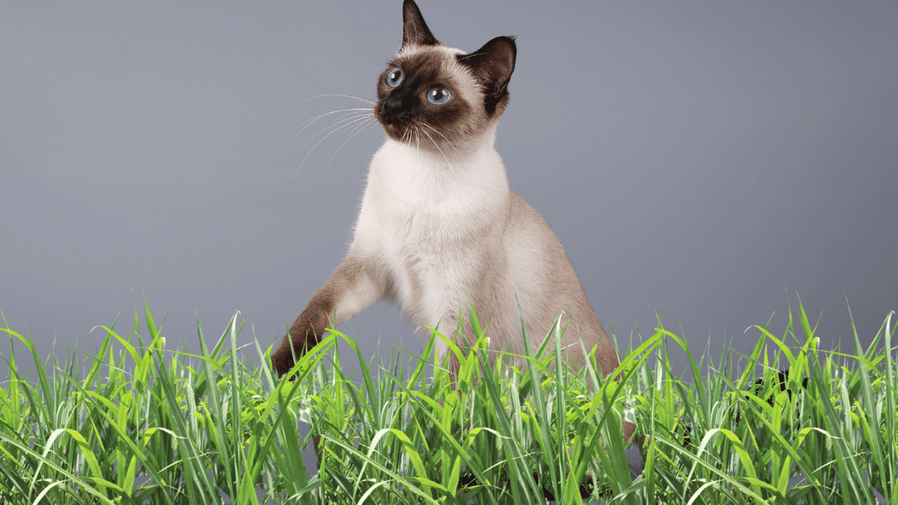 Los gatos siameses pueden ser como perros falderos reales