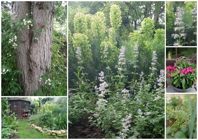 Das blüht im Juni: Ramblerrose, Katzenminze, Bartnelke