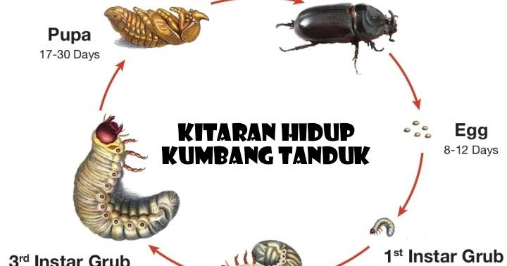 Nur Hafizah Sharudin S Blog Kitaran Hidup Dan Kaedah Kawalan Menggunakan Perangkap Organik Untuk Kawalan Kumbang Tanduk Oryctes Rhinoceros