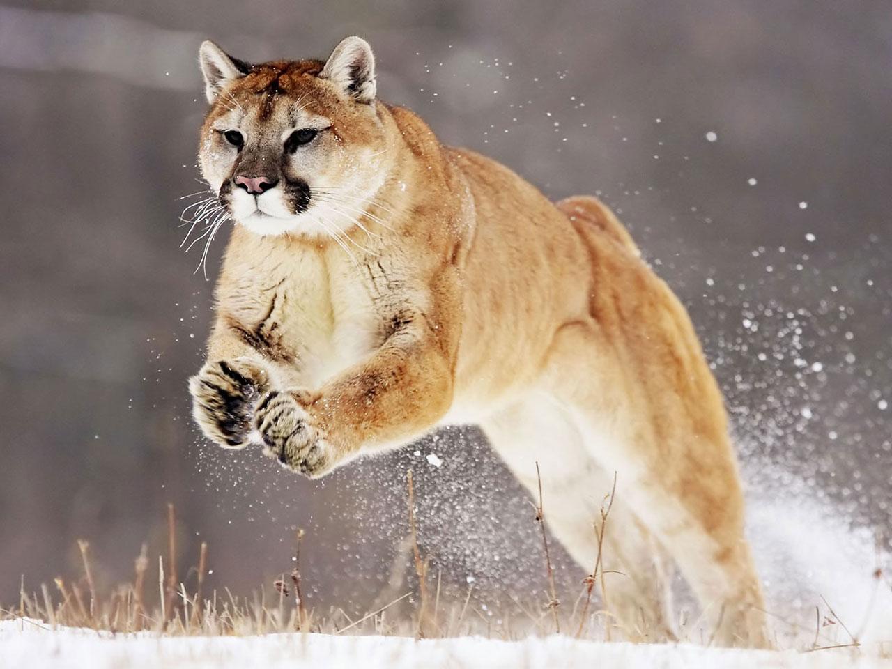 cougar infi
