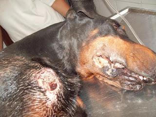 Se observa la herida abierta con gusanos, esta no causa nódulos