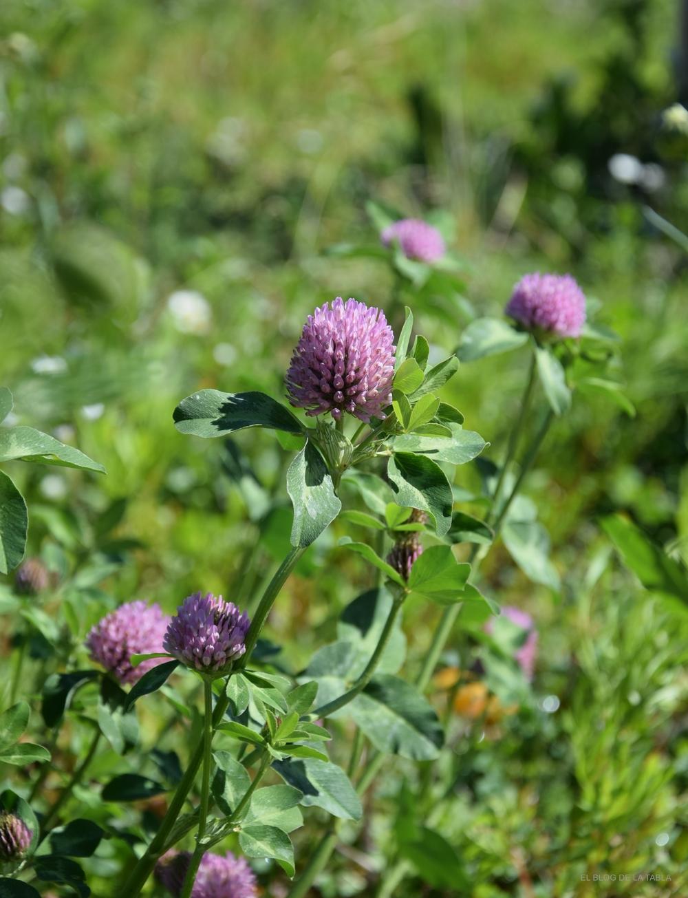 Trifolium pratense (trébol rojo, trébol violeta) herbacea vivaz para praderas de flores silvestres