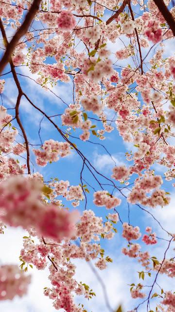 Sakura Flower Aesthetic HD wallpaper