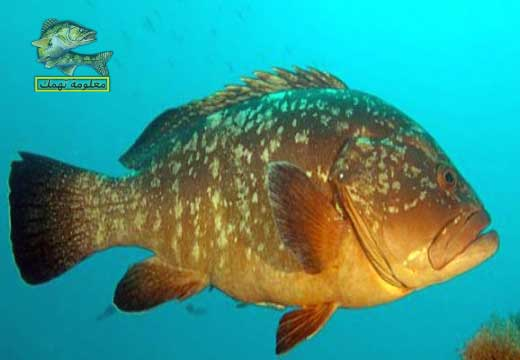 ما هو سمك  الهامور العربى او سمك الوقار