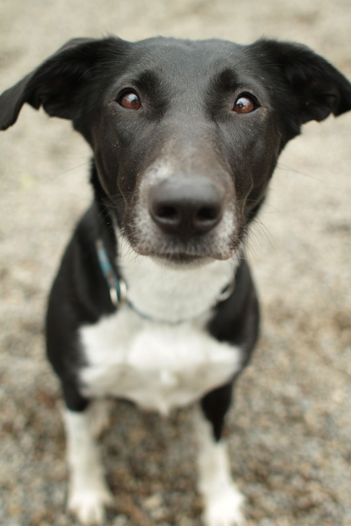 border collie pointer mix