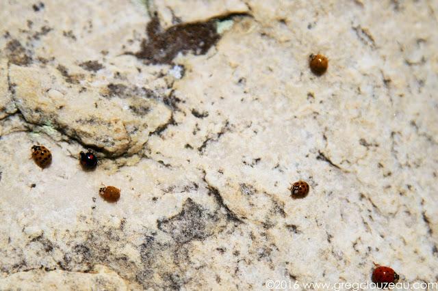 La Coccinelle asiatique (Harmonia axyridis) sur les grès de Fontainebleau.