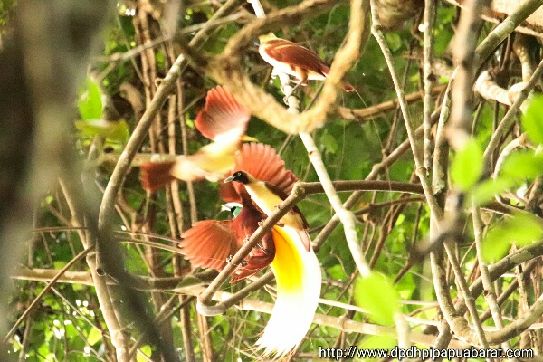 Cendrawasih Kuning Lesser Birds of Paradise di Manokwari