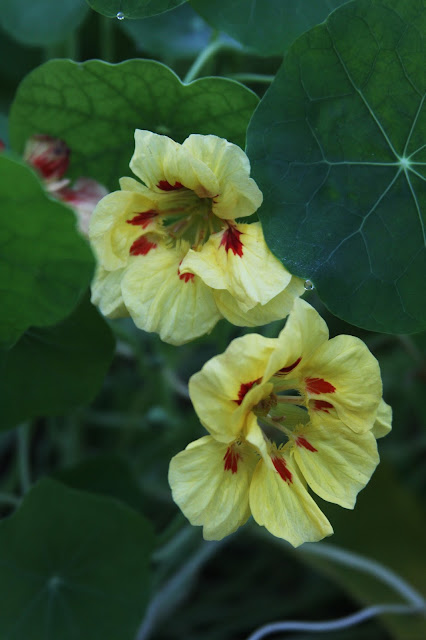 nasturtiums, November, garden, Anne Butera, My Giant Strawberry