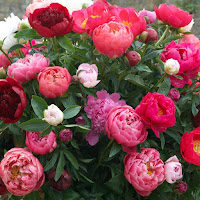 Mixed peonies blooming in shades of pink and red.