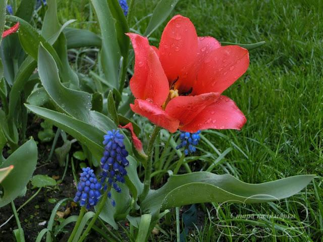 тюльпан Toronto, тюльпаны, сад, цветник, тюльпаны в саду, сорта тюльпанов, фото тюльпанов