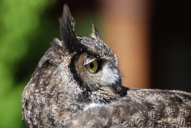 Peter Moore's Wildlife Blog: Owling on Portland  Owls Portland Oregon