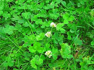 rumput-clover-untuk-kura-kura.jpg